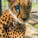 Close-up portrait shot of a cheetah at a zoo