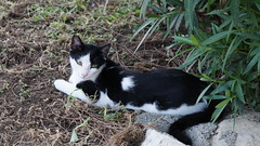 2015-09-19_18-16-53_ILCE-6000_DSC09308 (Miguel Discart (Photos Vrac)) Tags: 2015 99mm animal animalphotography animals animalsupclose animaux cat cats chat chats colakli e18200mmf3563ossle focallength99mm focallengthin35mmformat99mm highiso holiday hotel ilce6000 iso2000 kamelya kamelyaworld nature naturephotography pet sony sonyilce6000 sonyilce6000e18200mmf3563ossle summer turkey turquie vacance vacation