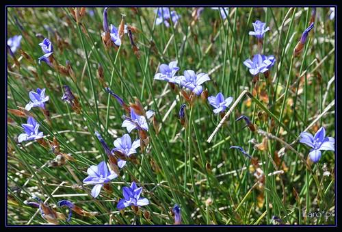gentianes bleues du sud 3