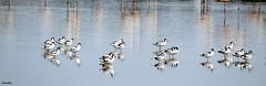 ZEN attitude ! (Armelle85) Tags: extérieur nature faune oiseau avocette maraissalants eau reflet