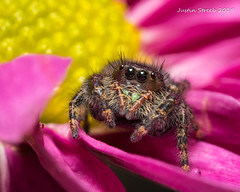 Juvenile Bold Jumping Spider 4 (strjustin) Tags: boldjumpingspider jumpingspider arachnid spider insect bug eyes flower beautiful macro