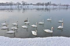 (YazzyH) Tags: slavonskibrod croatia hrvatska winter snow bird birds river water swan swans
