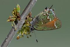 Juniper hairstreak (jim_mcculloch) Tags: dsc3930 butterflies lepidoptera