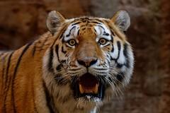 Tigger (picsessionphotoarts) Tags: planetearth flickrnature nikonfotografie nikonphotography zoo atthezoo tier tierpark wildtiere wildlifeanimals tiergartennürnberg nürnberg afsnikkor200500mmf56eedvr nikond850 tiger sibirischertiger