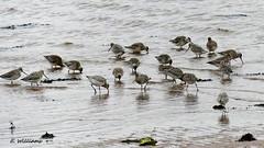 Bar-tailed Godwit, Great Cumbrae (Eddie the Eagle-eye) Tags: birds wildlife waders godwit clyde cumbrae shore