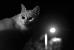Un retrato nocturno (carlosdeteis.foto) Tags: carlosdeteis galiza galicia blackandwhite blancoynegro brancoenegro gato cat