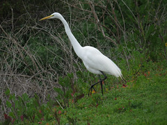 Great Egret on the Ballona beat (stonebird) Tags: greategret ardeaalba ballonawetlandsecologicalreserve areab february img0077