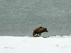 P1040395 (rpealit) Tags: scenery wildlife nature edwin b forsythe national refuge brigantine immature bald eagle bird