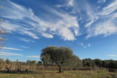 Mirando hacia el cielo (esta_ahi) Tags: castellvídelamarca cel cielo sky núvols nubes clouds penedès barcelona spain españa испания olivera olivo oleaeuropaea árbol árboles cultivados