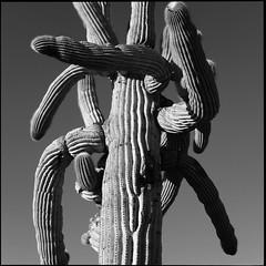 Confused State (greenschist) Tags: santanmountainregionalpark square blackwhite arizona saguaro pinalcounty sonorandesert usa