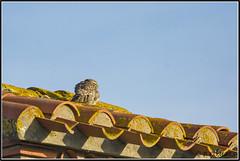 _DSC0019_Chevêche d'Athéna (patounet53) Tags: athenenoctua chevêchedathéna littleowl strigidés strigiformes bird oiseau