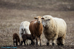 Sort of a Family Portrait...Sheepishly Contrived (Walt Snyder) Tags: canoneos5dmkiii canonef100400mmf4556l farm animals sheep portrait lamb lambs
