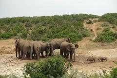 Addo Elephant National Park (sirmick53) Tags: southafrica südafrika animals tiere elephanten robben meer nationalpark addoelephantpark urlaub gardenroute