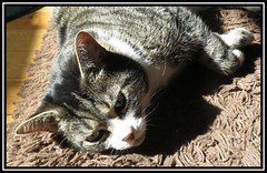 Spring Sunshine Siesta (M E For Bees (Was Margaret Edge The Bee Girl)) Tags: cat canon indoors feline sun resting stripes rug animal pet white spring face grey shadow merlin