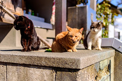 Cats living on Enoshima island : 江の島で生きる猫たち (Dakiny) Tags: 2019 spring march japan kanagawa fujisawa enoshima island shonancoast city street animal mammal cat bokeh nikon d750