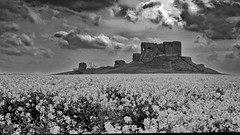 Rape at Duffus Castle (PictishImages) Tags: sunset beach water sky red flower nature blue night white tree green flowers portrait art light snow dog sun clouds thunder storm moray scotland elgin burghead hopeman landscape seascape blackandwhite mono monochrome explore photography macro nikon fuji prime artistic fishing village structure architecture historic ancient scottish beautiful girl woman picture lens stack mountains wild natural cat rain forest path woodland stia acros simulation film photographer outside design pier countryside interior duffus castle monument