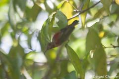 Aethopyga siparaja (Crimson Sunbrid), male in transition. (GeeC) Tags: tatai animalia aves nectariniidae chordata aethopygasiparaja kohkongprovince cambodia aethopyga passeriformes nature birds crimsonsunbird passerines sunbirds