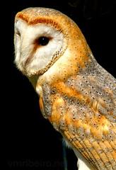 Coruja das Torres (vmribeiro.net) Tags: coruja torres tyto alba barn owl sony a350 ave bird nature