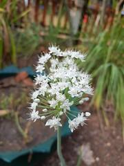 Allium cepa  L. Liliaceae (Amaryllidaceae Allioideae)-onion, หัวหอม (SierraSunrise) Tags: allium amaryllidaceae esarn flowers isaan liliaceae nongkhai onion phonphisai plants thailand vegetables white
