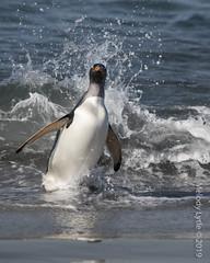 Gentoo Penguins (karenmelody) Tags: animal animals bird birds falklandislands gentoopenguin pygoscelispapua sealionisland spheniscidae sphenisciformes vertebrate vertebrates fk
