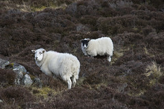 Here's Looking At Ewe (steve_whitmarsh) Tags: aberdeenshire scotland scottishhighlands highlands mountain hills animal nature sheep cairngorms topic abigfave