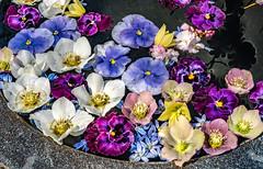 A7307496 (jhallen59) Tags: chanticleer radnor pennsylvania garden spring flowers