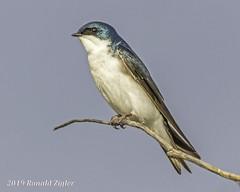 Tree Swallow IMG_4102 (ronzigler) Tags: tree swallow songbird nature birdwatcher avian wildlife bird watcher