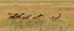 Hyenas (ralf galloway) Tags: tanzania safari 2018 hyenas