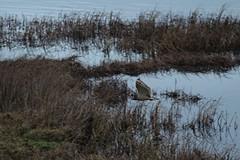 IMG_1884 (LezFoto) Tags: shortearedowl asioflammeus forviennr aberdeenshire scotland canoneos700d sigma 700d canon 120400mmf4556dgapooshsm digitalslr dslr canonphotography sigmalens strigiformes birdofprey raptor