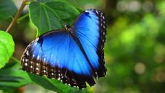 Common Morpho (Morpho helenoor) (Pablo L Ruiz) Tags: butterflyworld butterflies tamron18400mf3563