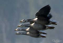 106531352s (TARIQ HAMEED SULEMANI) Tags: sulemani tariq tourism trekking tariqhameedsulemani winter wildlife wild birds nature nikon