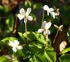 Tiny white Violets - Explore! (Monceau) Tags: tiny white violets explore explored macro flower freitagsblümchen