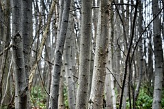 Into the Woods (Claire Fun) Tags: woods forest trees bark birch