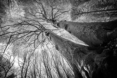 United for Eternity (Revisited) (Ir3nicus) Tags: ausen baum buche baumkrone baumstamm wald dieleucht natur kahl winter outdoor tree beech treetop trunk forest nature bald leafless alt old nikonz6 afsnikkor14–24mm128ged dslm milc mirrorless fullframe ultrawideangle ultraweitwinkel deutschland germany kamplintfort schwarzweis bw blackandwhite sw