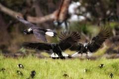 Endangered Carnaby Cockatoo (SuzieAndJim) Tags: australia bird blackcockatoo carnaby cockatoo naturephotography nature