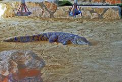 Крокодил Гена (lvv1937) Tags: крокодил зоопарк водоём пафос exploré naturepost1award4sweeperactive inexplore