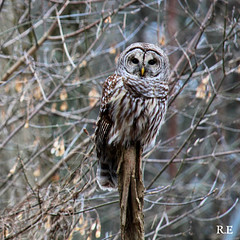 Beautiful Barred Owl, Winter 2019 (Rebecca Evelynn) Tags: sky lakeontario benches chickadee barredowls naturephotography presquileprovincialpark waves crazyclouds ice ducks woodpeckers floating islands bigrock moss greenmoss