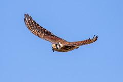 American Kestrel Inflight (dbadair) Tags: outdoor water nature wildlife 7dm2 canon florida bird ftdesoto ft