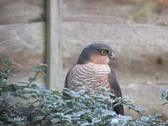 Sparrowhawk... (Marie on Flickr) Tags: sparrowhawk garden shrub back window taken through