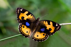 Junonia hierta - the Yellow Pansy (female) (BugsAlive) Tags: butterfly mariposa papillon farfalla 蝴蝶 dagvlinder 自然 schmetterling бабочка conbướm ผีเสื้อ animal outdoor insects insect lepidoptera macro nature nymphalidae junoniahierta yellowpansy female nymphalinae wildlife lamnamkoknp ผีเสื้อใน ประเทศไทย chiangrai liveinsects thailand thailandbutterflies bugsalive ผีเสื้อแพนซีเหลือง