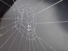 The jewellery of a a misty morning (Landanna) Tags: droplets mistymorning spinneweb spiderweb spindelvæv bw black white wit zwart zw sort hvid natural