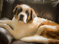 Lucy (13skies) Tags: stbernard dog lucy loving pet kind sweet sitting couch