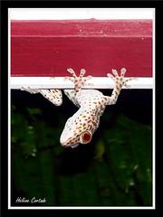gecko tokay curieux (curious tokay gecko) (hcortade) Tags: animal thailande voyage ile island samui monde world nature coth5 gecko lezard lizard curieux curious
