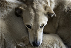 9-52: a lazy sunday (Dave (www.thePhotonWhisperer.com)) Tags: dog dogs goldenretriever golden rescue rescuedog cuddle warm nap 52weeksfordogs