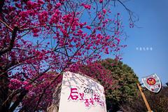 D68_3998 (brook1979) Tags: 台灣 台中 泰安 警察局 櫻花 春天 花季 粉 紫 taiwan taichung flower sakura 八重櫻