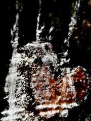 Honey Heart (Foxie Foxxo) Tags: tree nature forest wilderness abstract heart love wildlife black white gold honey outside outdoors natural seasons seasonal samsung art amour liefde amor arbor noir goud oro blanco natuur naturaleza bark macro caramel sap wood