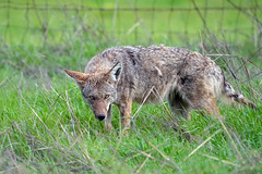 It's Been a Long Winter (lennycarl08) Tags: animalplanet coyote wildlife alhambravalley eastbay northerncalifornia