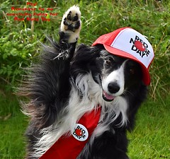 Hey! It's Red Nose Day 15/03/19 (ASHA THE BORDER COLLiE) Tags: red nose day 2019 funny dog picture border collie cap tie ashathestarofcountydown connie kells county down photography
