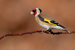 goldfinch (leonardo manetti) Tags: bird nature red winter colours naturephotography field natural nikkor countryside green morning black albero dawn cloud clody robin foto uccello goldfinch macro animale nikon d850
