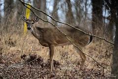 Deer-Whitetail Buck_0832 (3)ce (Porch Dog) Tags: 2019 garywhittington nikond750 nikkor200500mm wildlife nature deer whitetail buck male lbl landbetweenthelakes betweentherivers